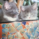 Eno and Frida as kittens, photo courtesy of their owner then.